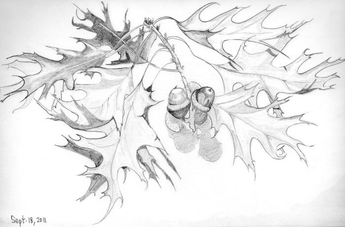 'oak leaves and acorns'