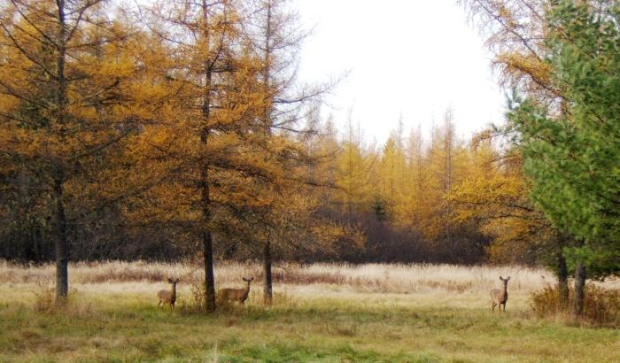 three deer among tamarack