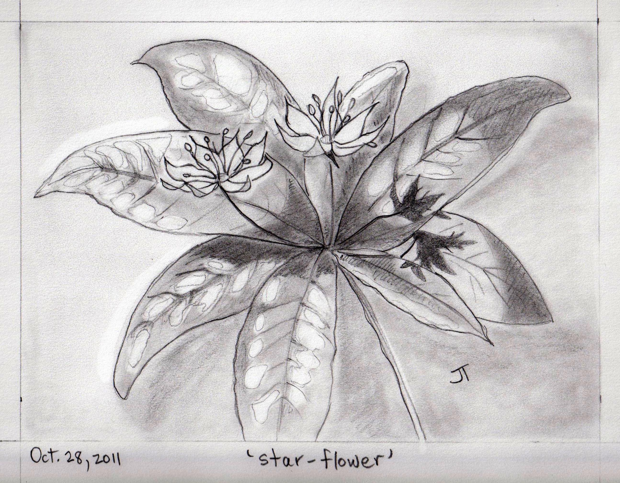 Star Flower Drawing Star-flower