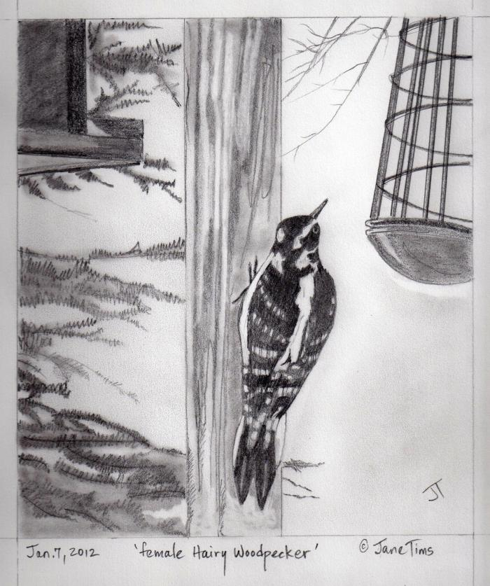 'female Hairy Woodpecker'