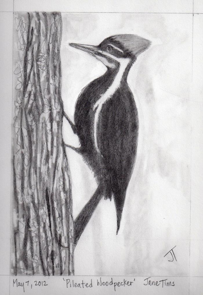 'Pileated Woodpecker'