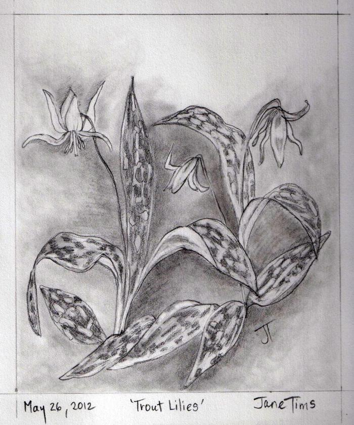 'Trout Lilies'