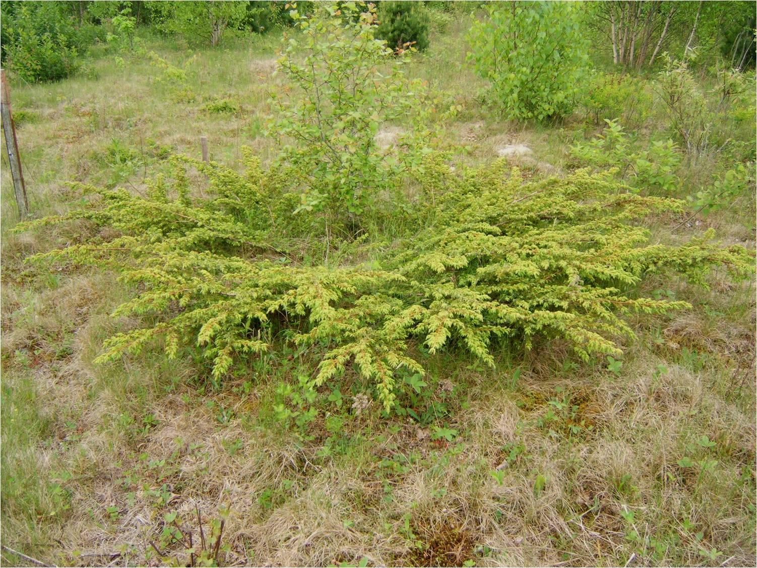 Ground juniper juniperus communis l var depressa pursh for The juniper