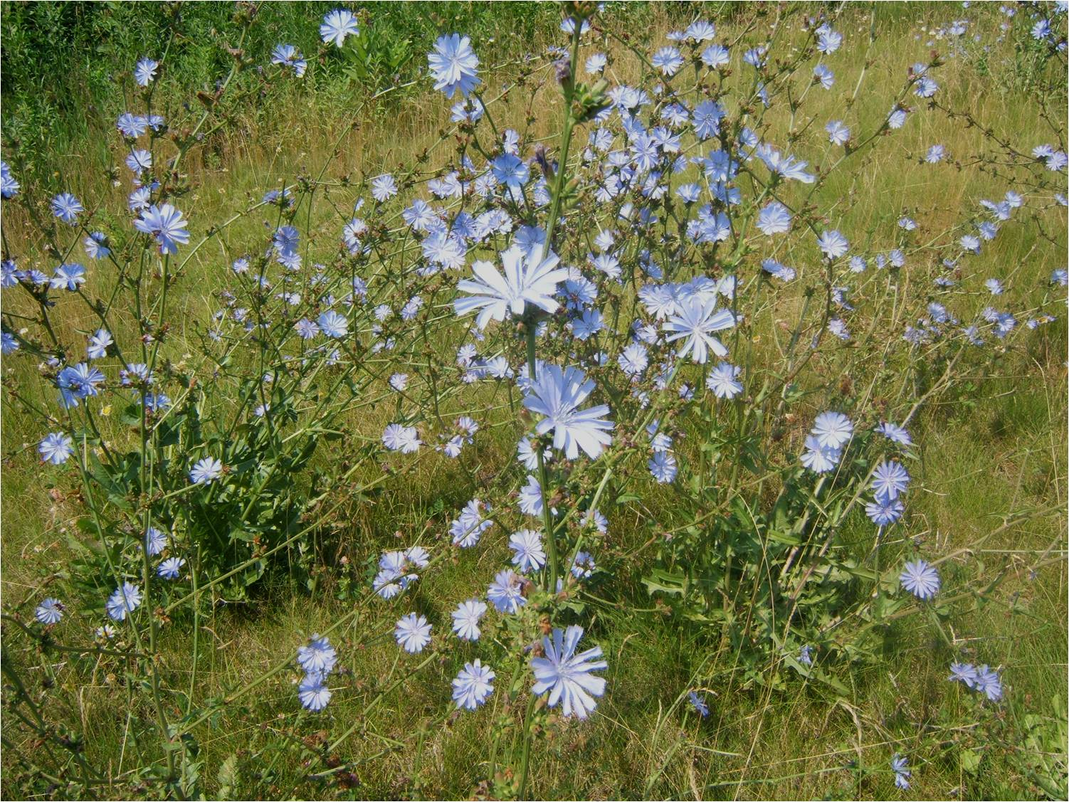 Полевые цветы разновидности фото и названия