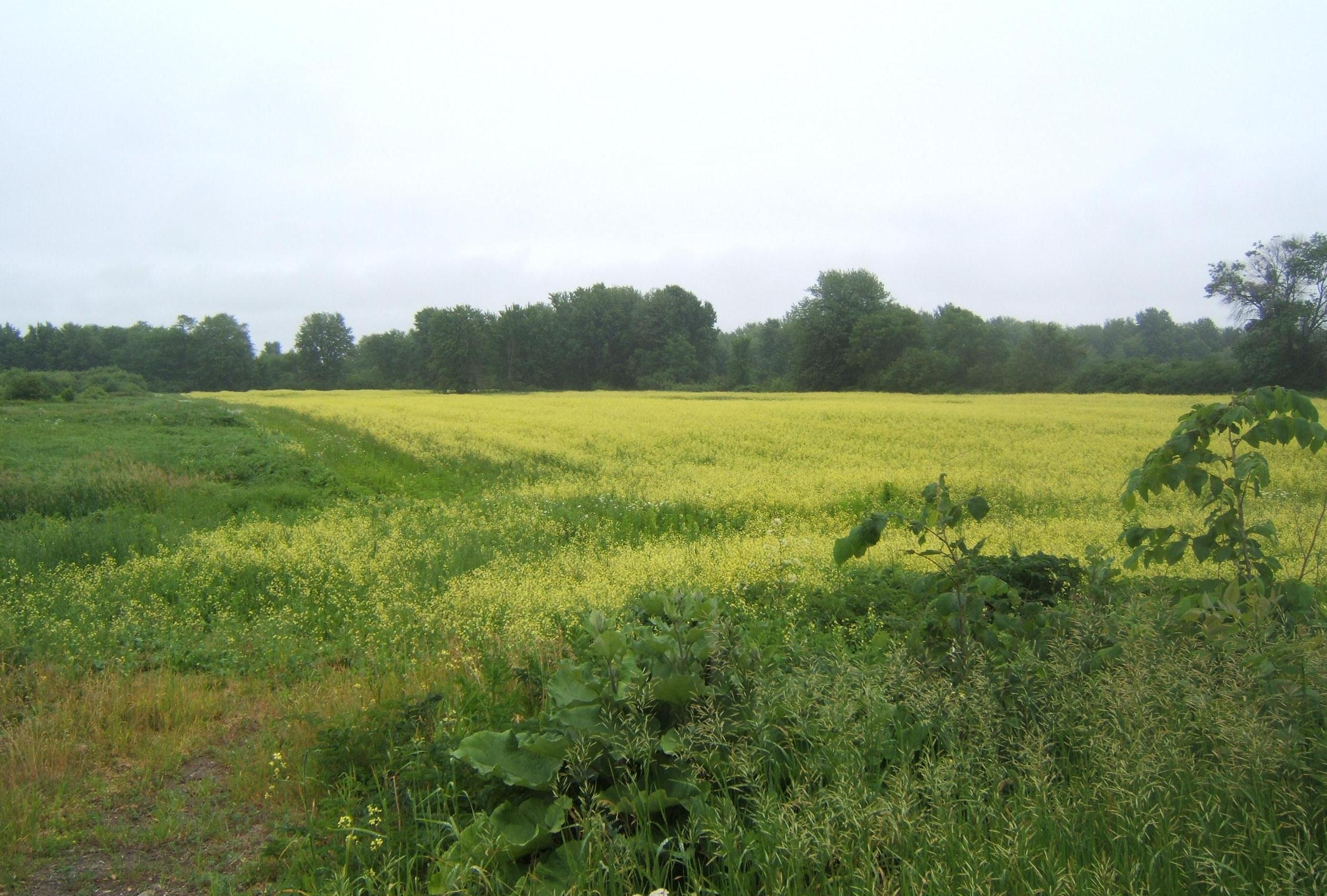 A Moment Of Beautiful Mustard Fields In Bloom Nichepoetryandprose