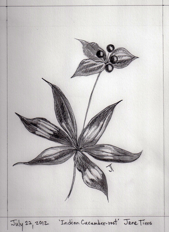 Gallery of pencil drawings of wildflowers nichepoetryandprose