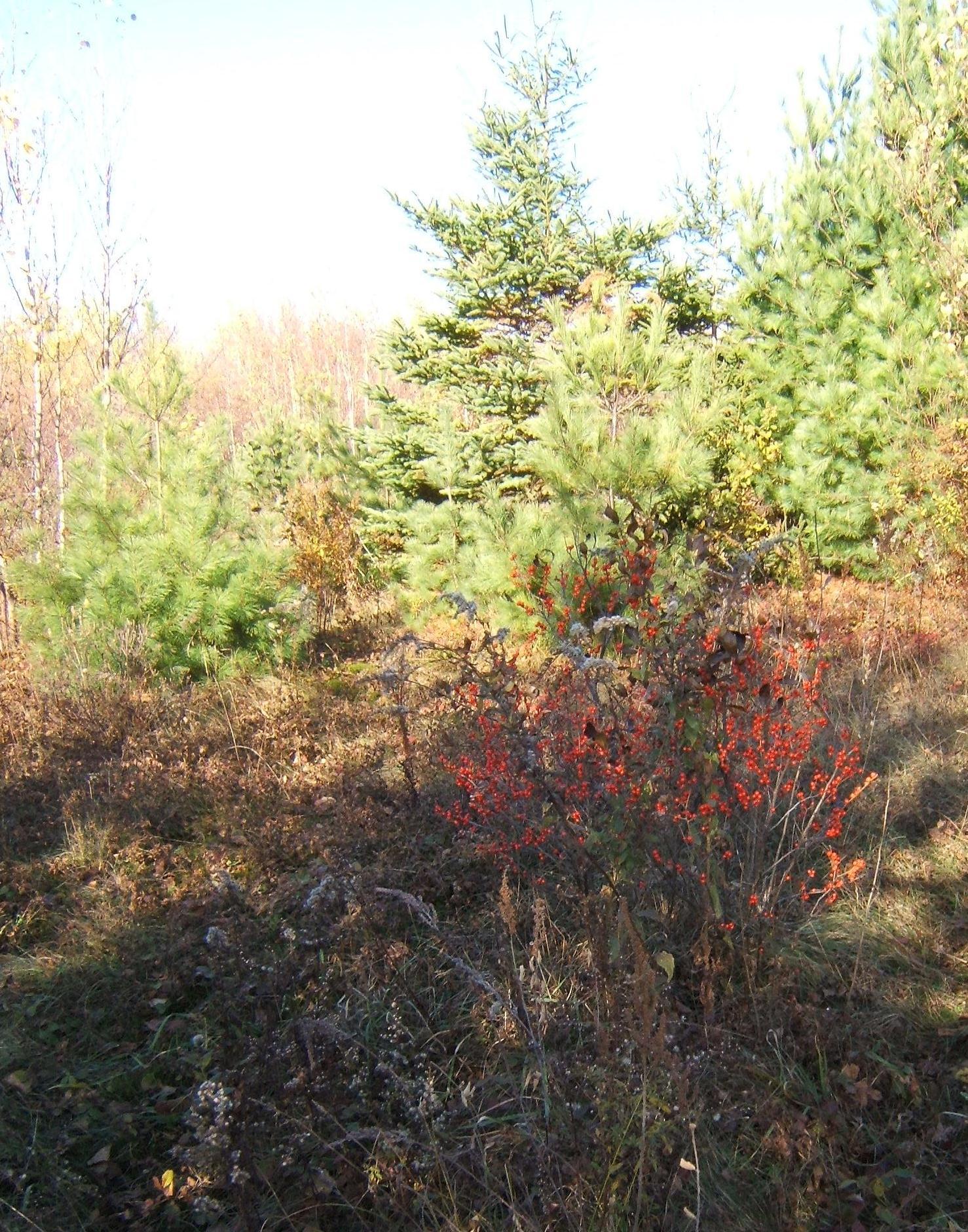 bush of winterberry holly