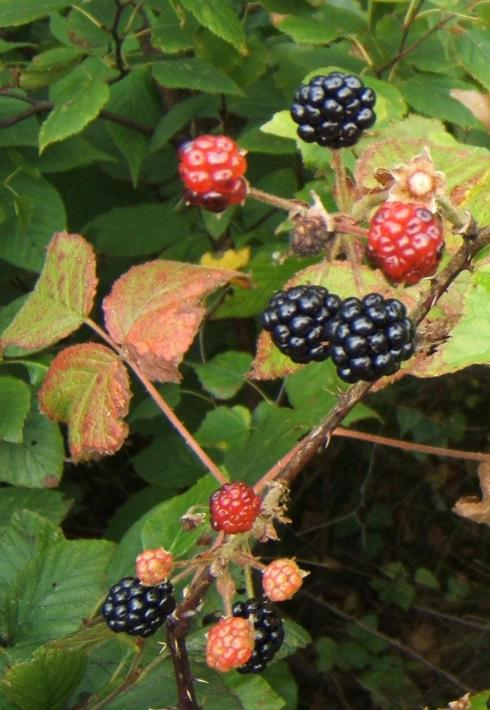 blackberries as big as thimbles