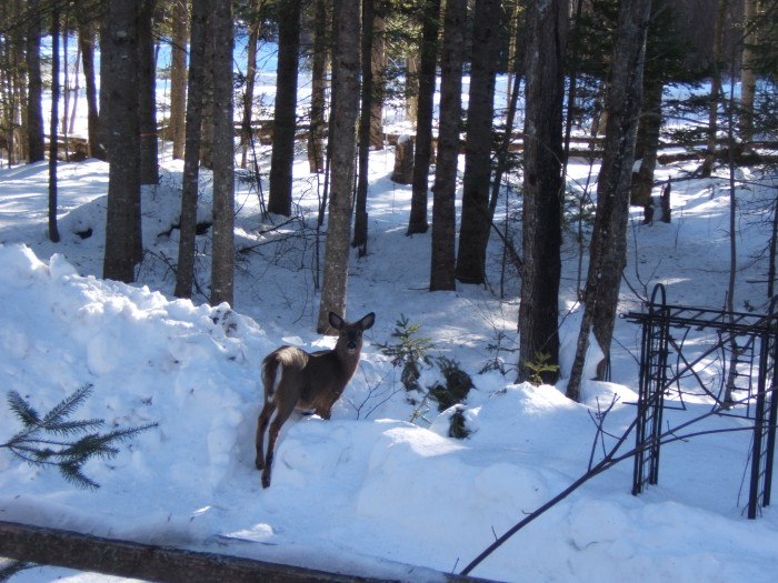 deer pauses to look back