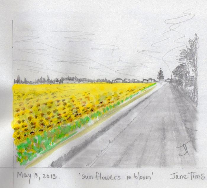 'sunflowers in bloom'