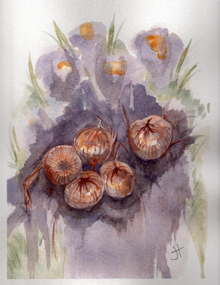 September 7, 2013  'crocus bulbs'   Jane Tims