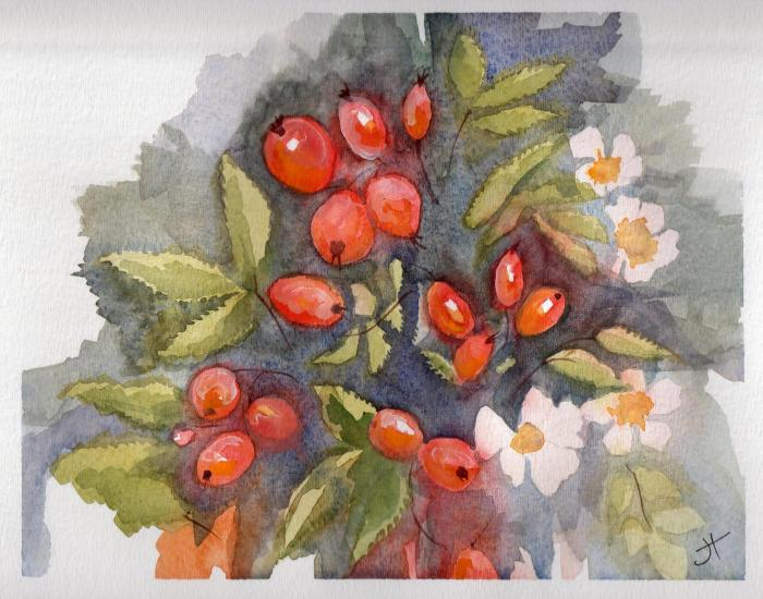 September 22, 2013 'red rose hips from pink roses' Jane Tims
