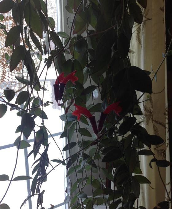 Lipstick plant in bloom