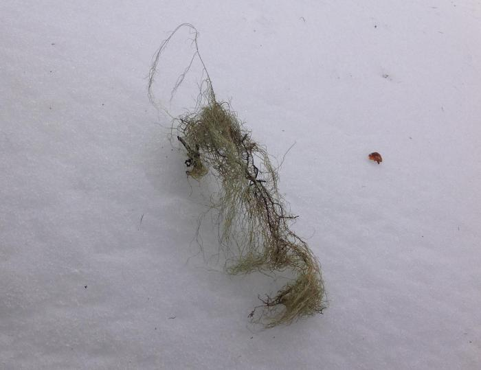 Usnea subfloridana on the snow