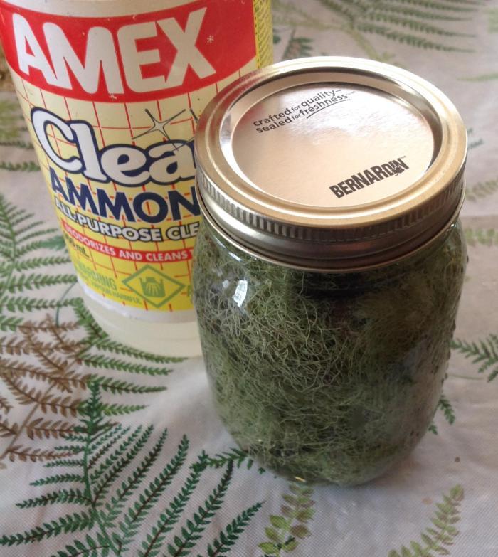 lichens in a jar ... plus a little ammonia