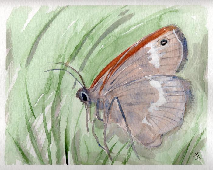 March 27, 2014  'Maritime Ringlet Butterfly'  Jane Tims