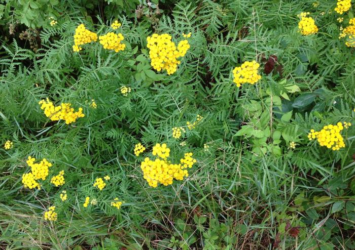 Tansy in the ditch