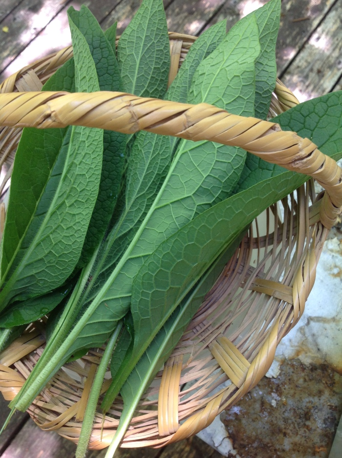 leaves of Comfrey, showing the veins on the underside of each leaf