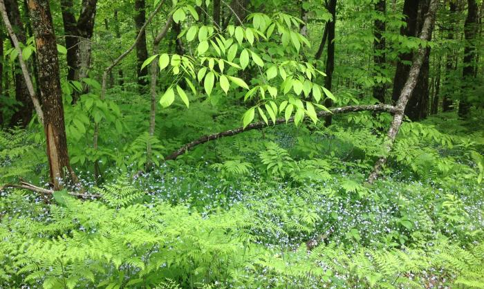 blue flowers in the woodland