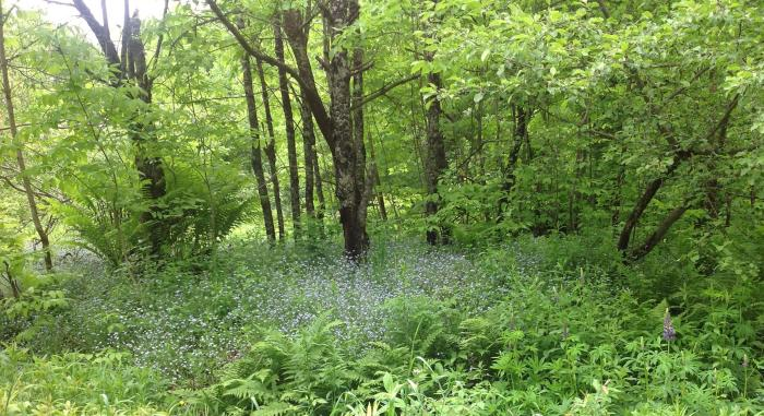 Forget-me-nots in the woods