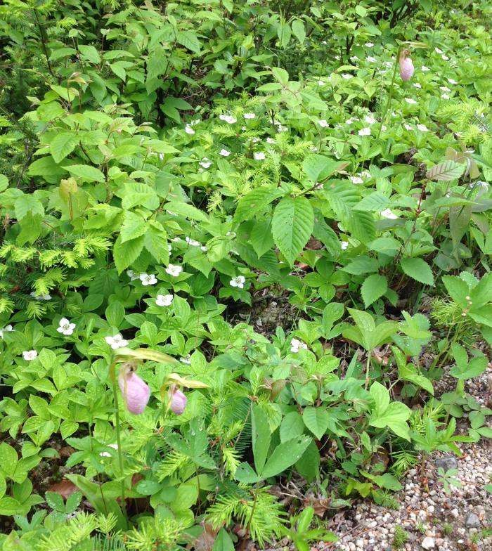 Lady's Slipper and Bunchberry along the road