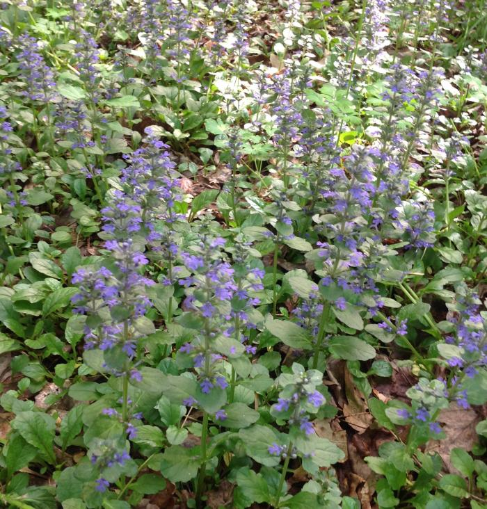 Bugleweed in the orchard