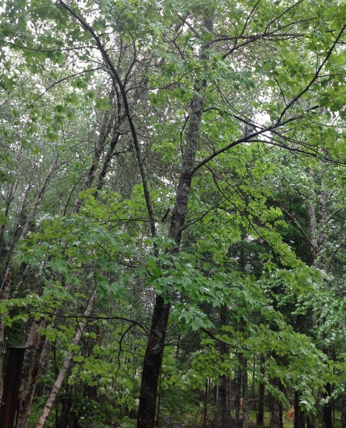 trees in hurricane rain