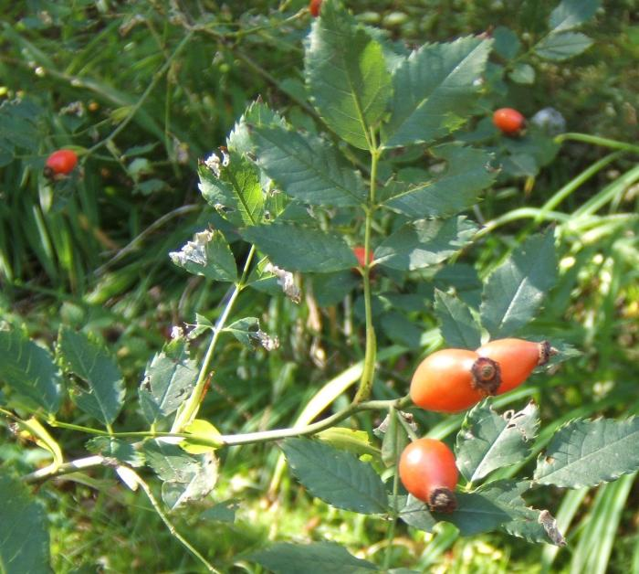 rose hips from my rose bush