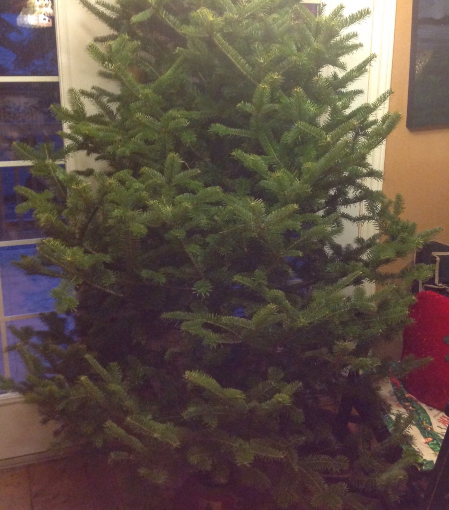 our tree for 2015, a balsam fir