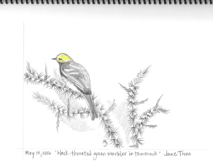 May 14, 2016 'black-throated green warbler in tamarack' Jane Tims