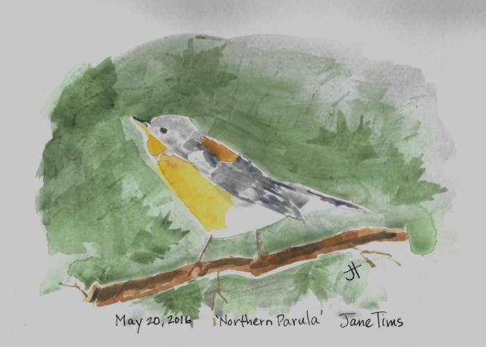 May 20, 2016 'Northern Parula' Jane Tims