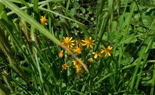 Senecio flowers