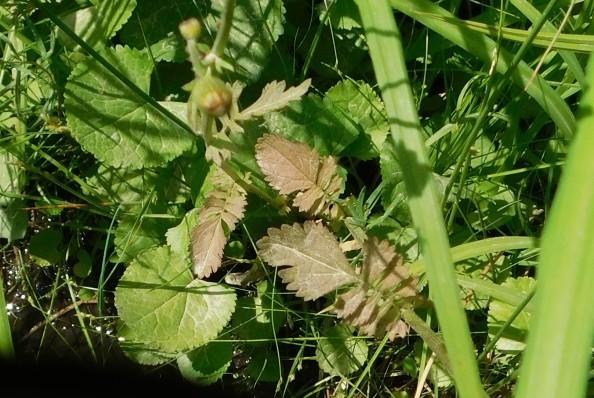 Senecio leaf shapes