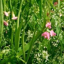 43 simcox Road everlasting pea