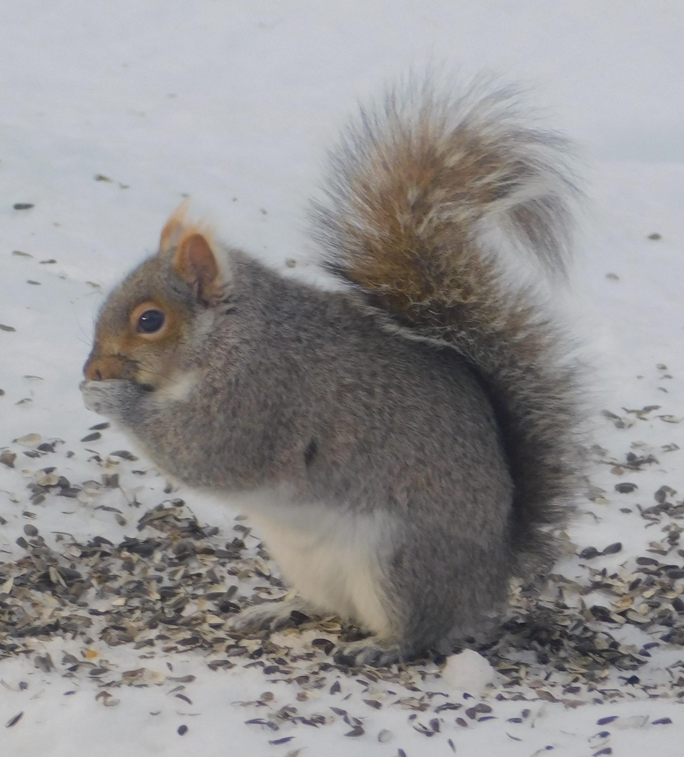squirrel as a vector