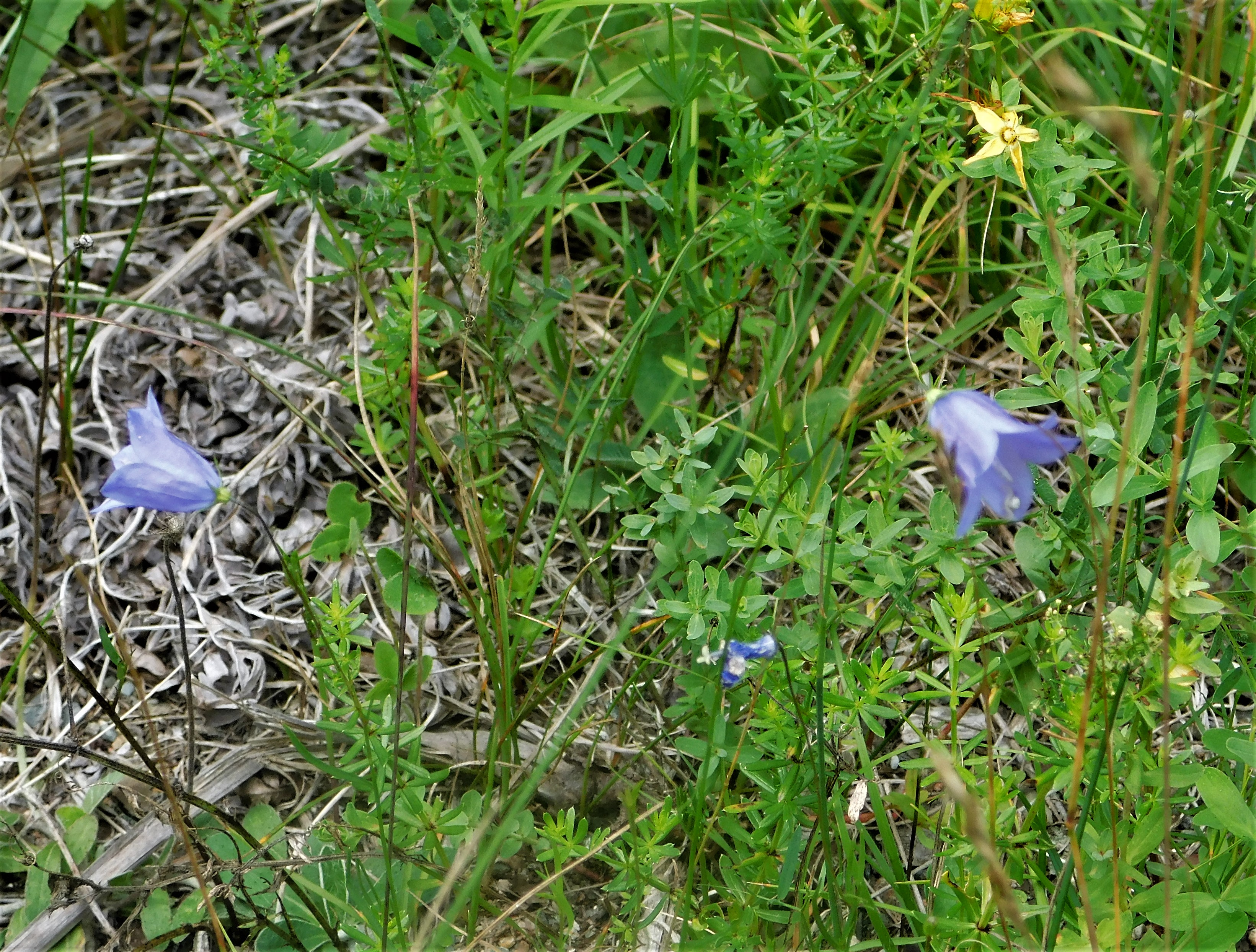 20 Wiggens Mill harebell cropped